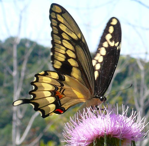 Giantswallowtail